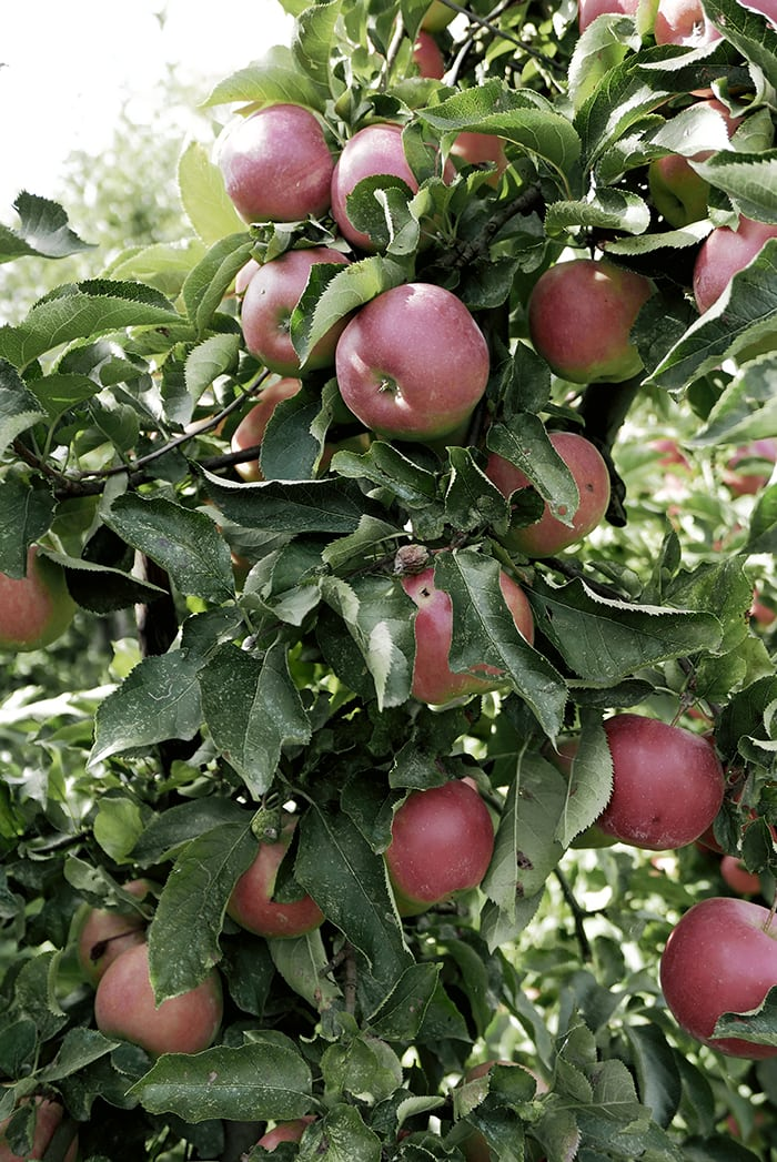 Apple Picking de Olmenhorst 10